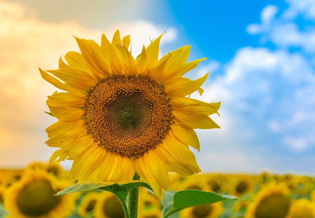 allergic sunflower